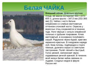 Белая ЧАЙКА Внешний облик. Довольно крупная птица, её масса составляет 550 г