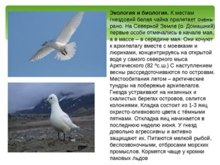 Экология и биология. К местам гнездовий белая чайка прилетает очень рано. На