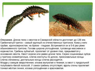 Описание. Длина тела с хвостом в Самарской области достигает до 136 мм. Гребе