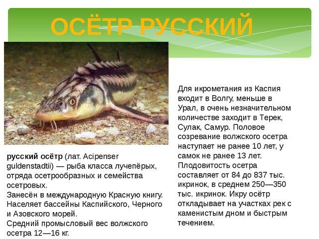 ОСЁТР РУССКИЙ русский осётр (лат. Acipenser guldenstadtii) — рыба класса луче...