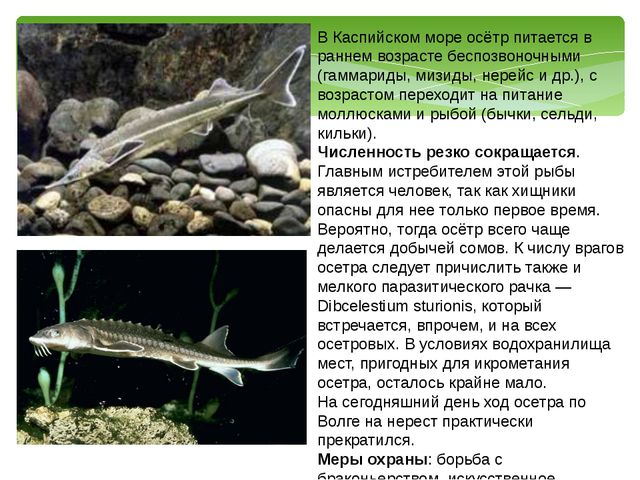 В Каспийском море осётр питается в раннем возрасте беспозвоночными (гаммариды...