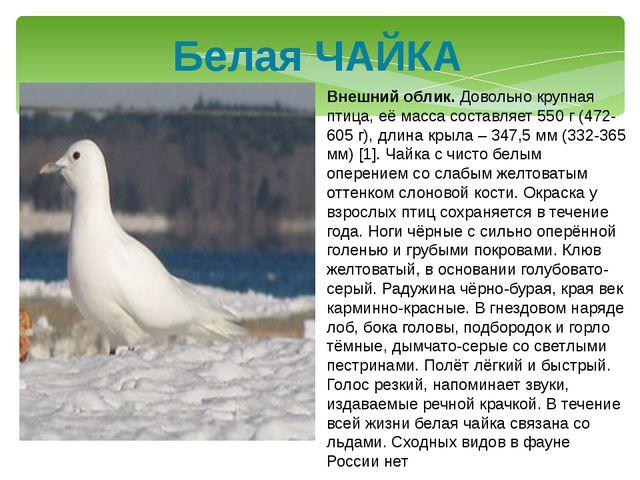 Белая ЧАЙКА Внешний облик. Довольно крупная птица, её масса составляет 550 г...