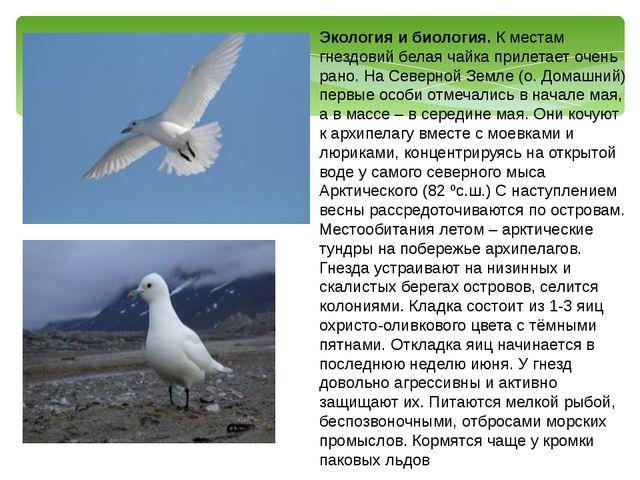 Экология и биология. К местам гнездовий белая чайка прилетает очень рано. На...