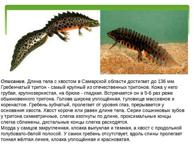 Описание. Длина тела с хвостом в Самарской области достигает до 136 мм. Гребе...
