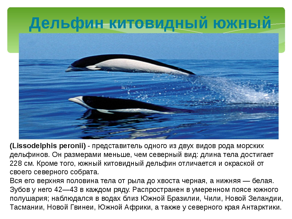 Дельфин китовидный южный (Lissodelphis peronii) - представитель одного из дву...