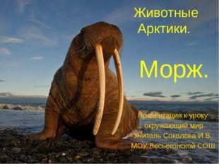 Животные Арктики. Морж. Презентация к уроку окружающий мир Учитель Соколова И