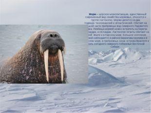 Морж— морскоемлекопитающее, единственный современный видсемейства моржовых
