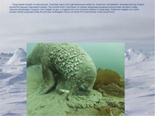 Пищу моржи находят на морском дне. Помогают ему в этом чувствительные вибрис