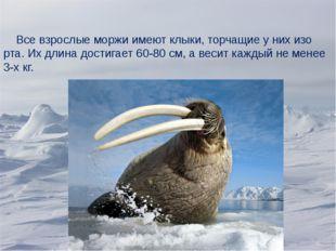 Все взрослые моржи имеют клыки, торчащие у них изо рта. Их длина достигает 6