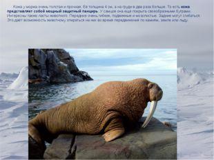 Кожа у моржа очень толстая и прочная. Её толщина 4 см, а на груди в два раза
