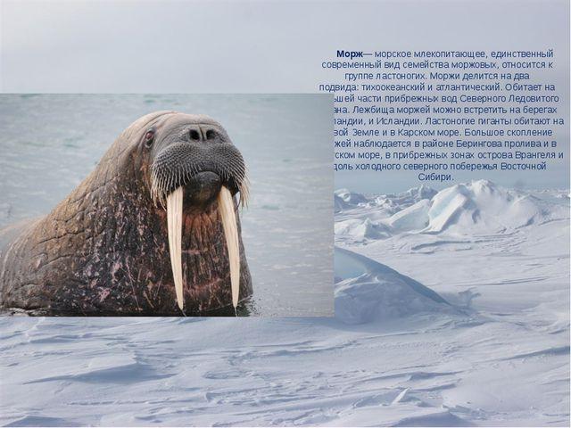 Морж— морскоемлекопитающее, единственный современный видсемейства моржовых...