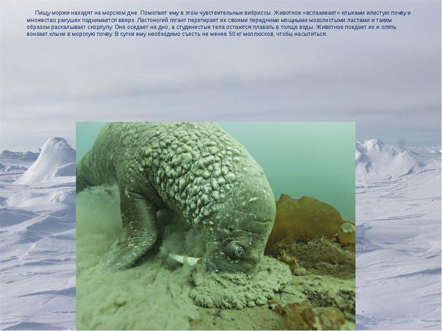 Пищу моржи находят на морском дне. Помогают ему в этом чувствительные вибрис...