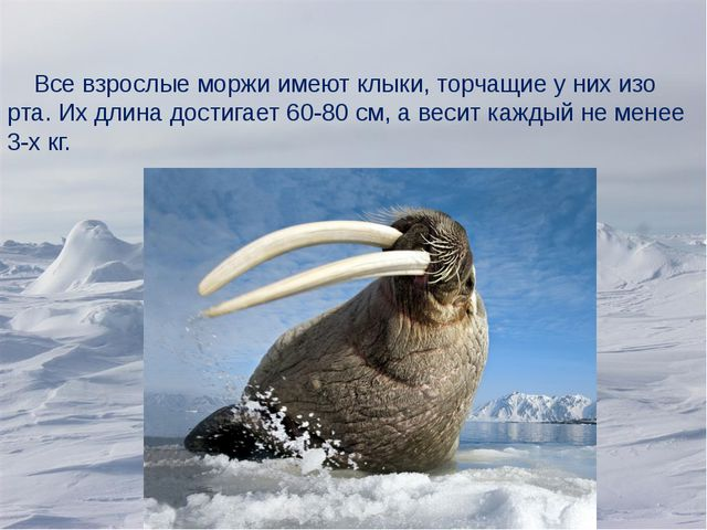 Все взрослые моржи имеют клыки, торчащие у них изо рта. Их длина достигает 6...