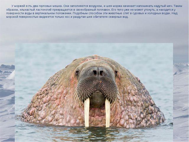 У моржей есть два горловых мешка. Они заполняются воздухом, и шея моржа начи...