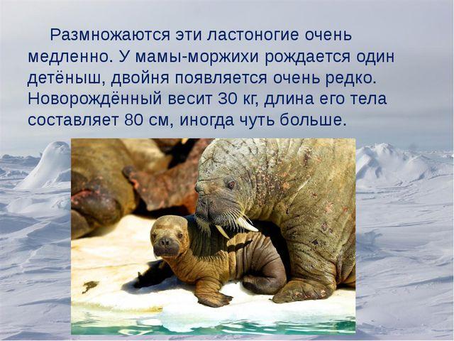 Размножаются эти ластоногие очень медленно. У мамы-моржихи рождается один де...