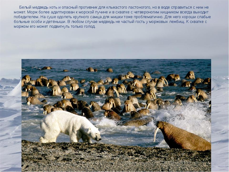 Белый медведь хоть и опасный противник для клыкастого ластоногого, но в воде...