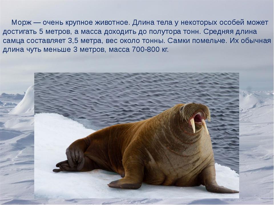 Морж—очень крупное животное. Длина тела у некоторых особей может достигать...