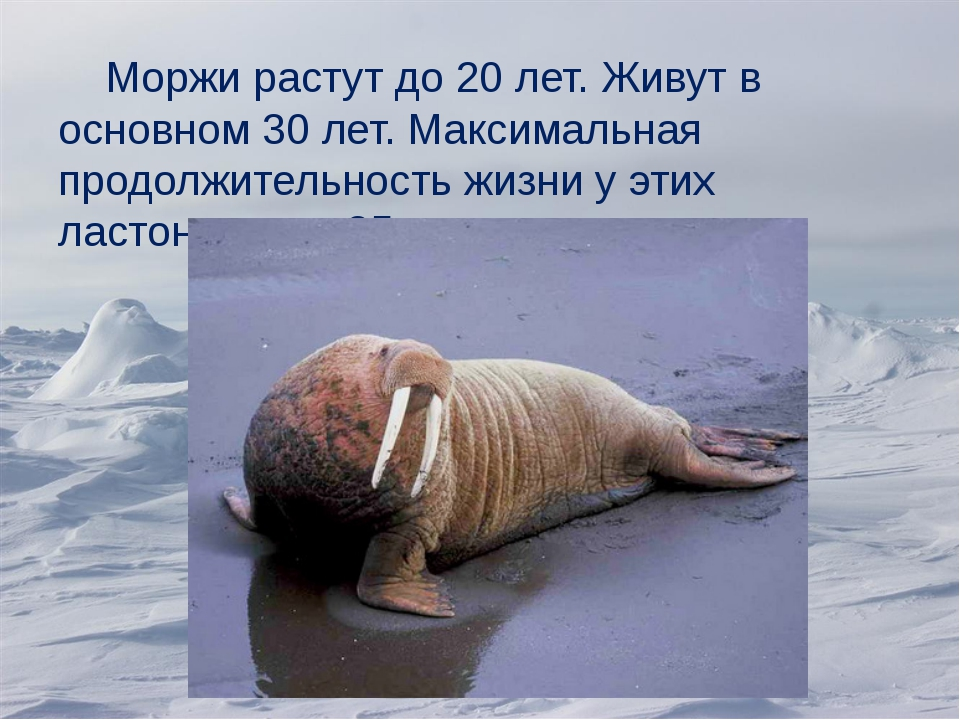Моржи растут до 20 лет. Живут в основном 30 лет. Максимальная продолжительно...
