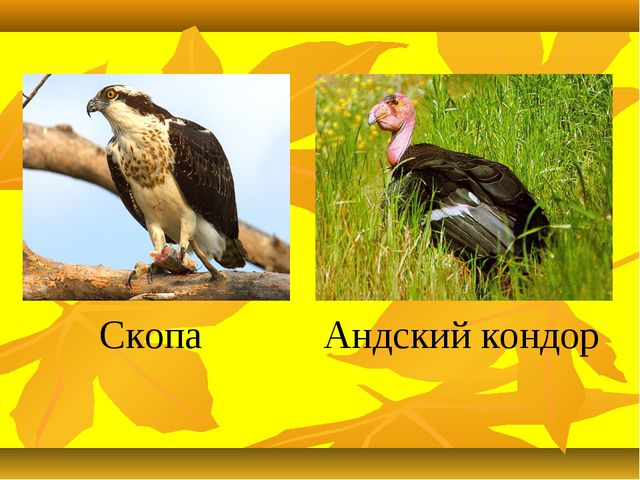 Скопа Андский кондор