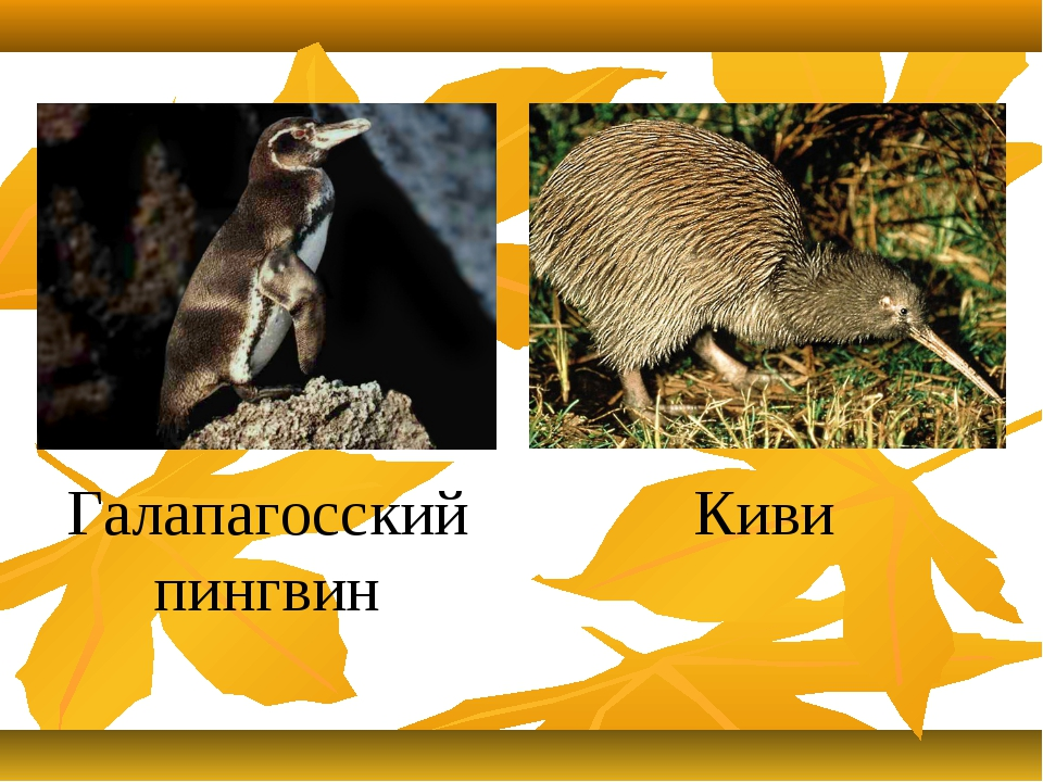 Галапагосский пингвин Киви