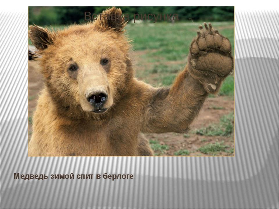 Медведь зимой спит в берлоге