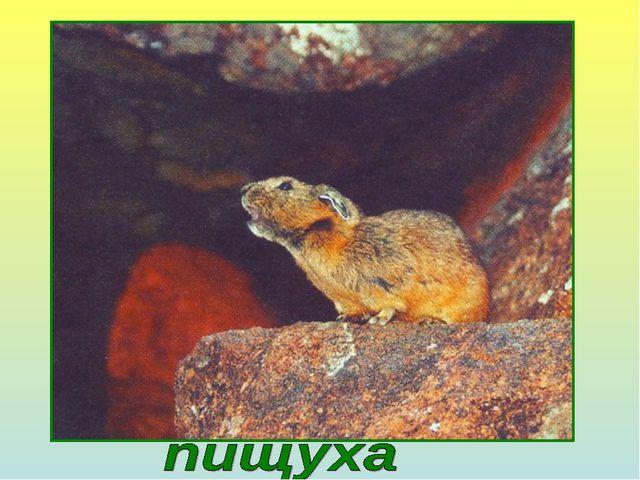 Это животное запасает летом сено на зиму. Собирает травянистые растения и про...