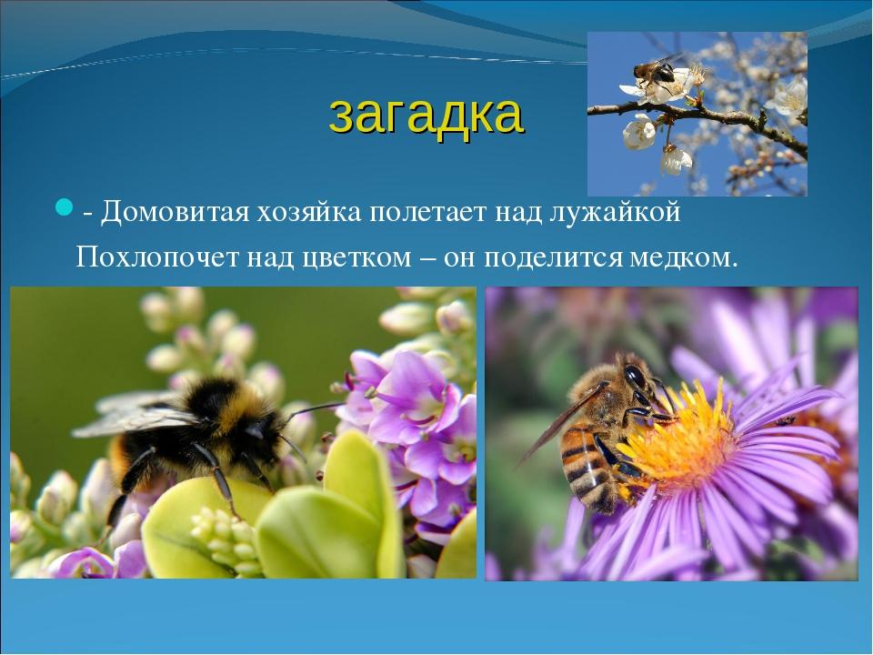 загадка - Домовитая хозяйка полетает над лужайкой Похлопочет над цветком – он...