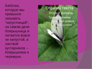 """Бабочка, которую мы привыкли называть """"капустницей"""", на самом деле боярышница"""