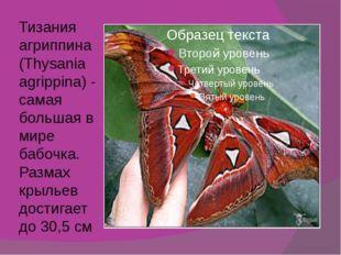 Тизания агриппина (Thysania agrippina) - самая большая в мире бабочка. Размах