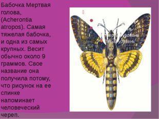 Бабочка Мертвая голова, (Acherontia atropos). Самая тяжелая бабочка, и одна и