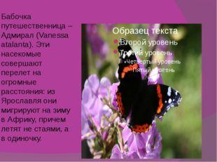 Бабочка путешественница – Адмирал (Vanessa atalanta). Эти насекомые совершают