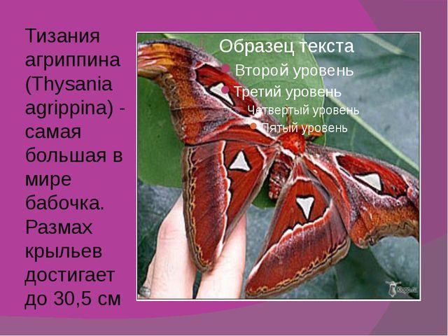 Тизания агриппина (Thysania agrippina) - самая большая в мире бабочка. Размах...