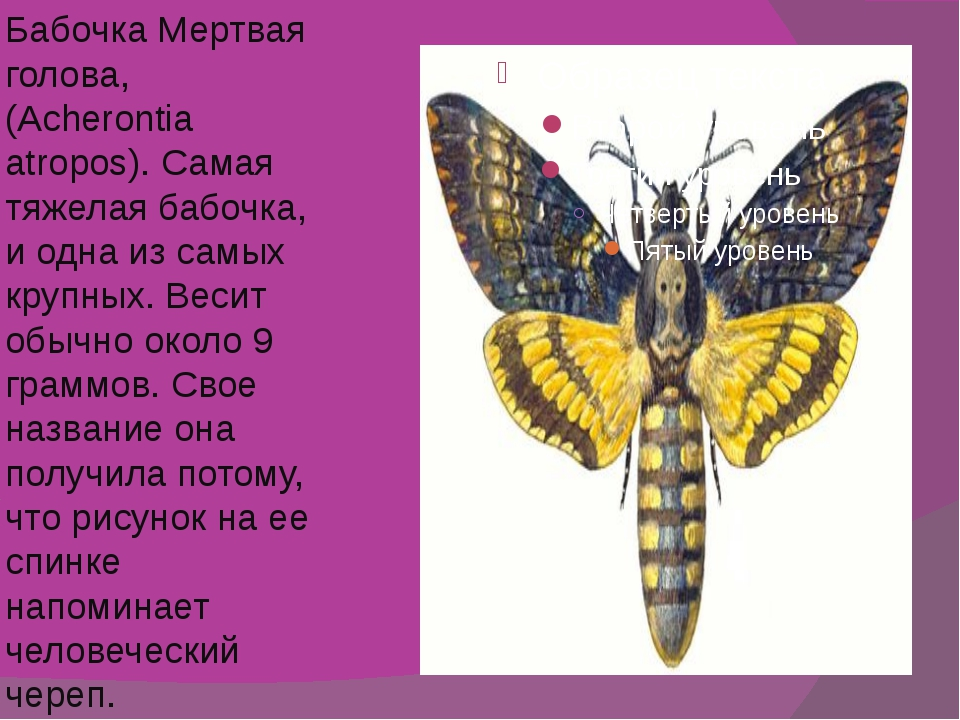 Бабочка Мертвая голова, (Acherontia atropos). Самая тяжелая бабочка, и одна и...