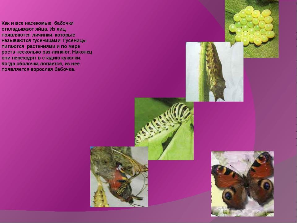 Как и все насекомые, бабочки откладывают яйца. Из яиц появляются личинки, кот...