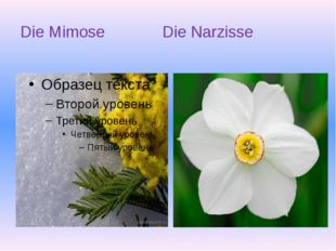 Die Mimose Die Narzisse