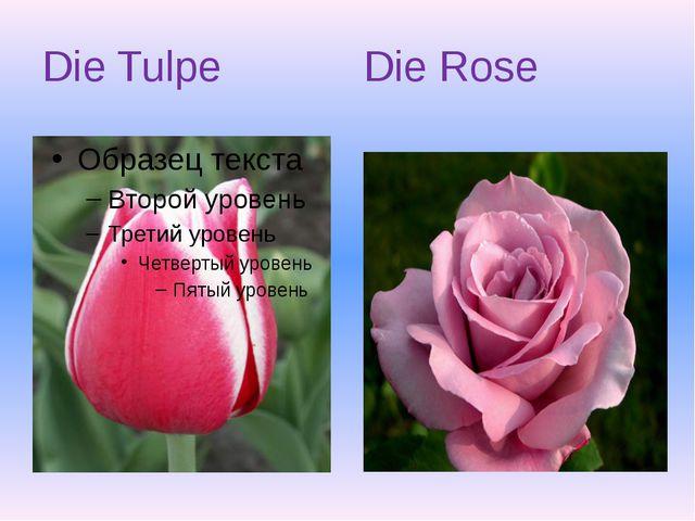 Die Tulpe Die Rose
