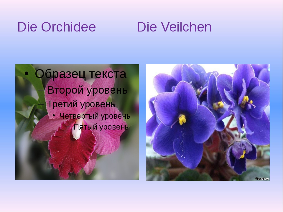 Die Orchidee Die Veilchen