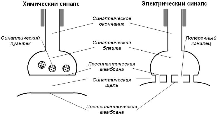 http://900igr.net/datai/biologija/Kletka-i-ejo-stroenie/0023-022-Ultrastruktura-khimicheskogo-i-elektricheskogo-sinapsa.png