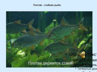 Плотва - стайная рыба.
