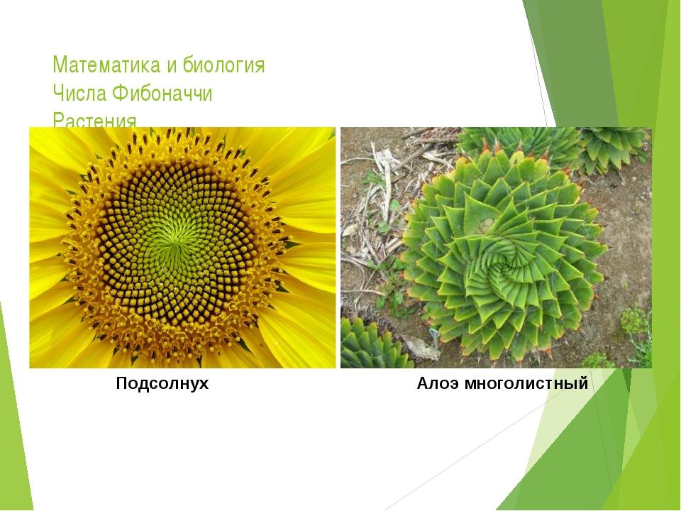 Математика и биология Числа Фибоначчи Растения Подсолнух Алоэ многолистный