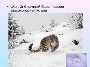 Факт 2: Снежный барс – самая высокогорная кошка
