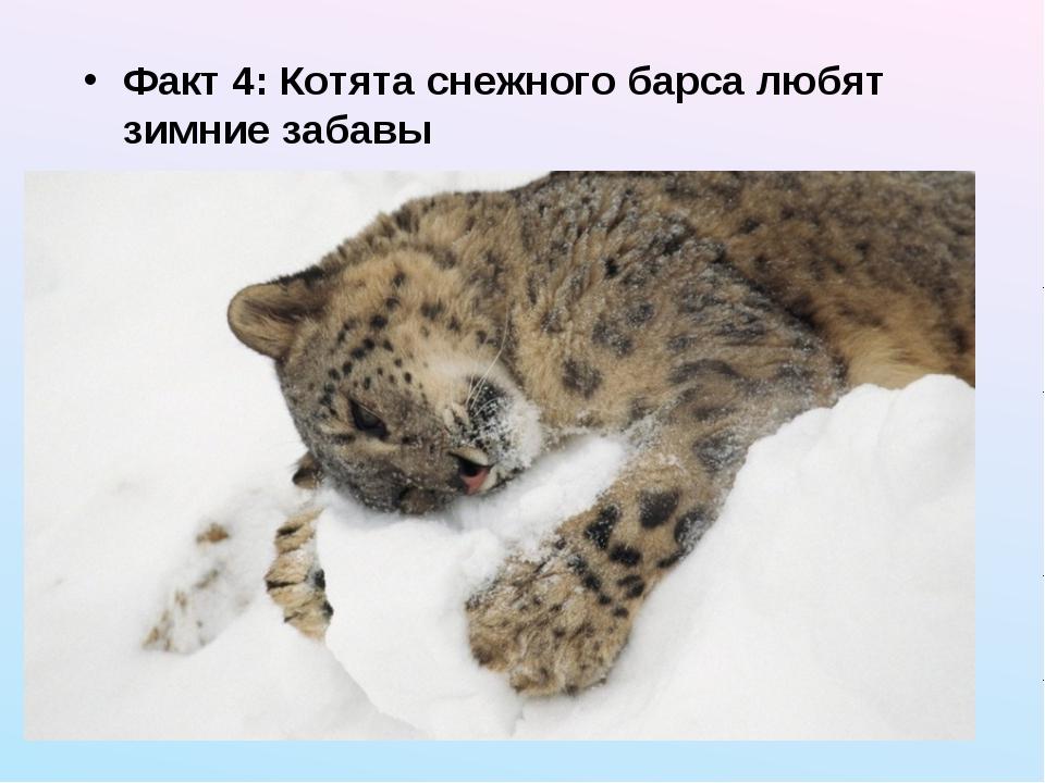 Факт 4: Котята снежного барса любят зимние забавы