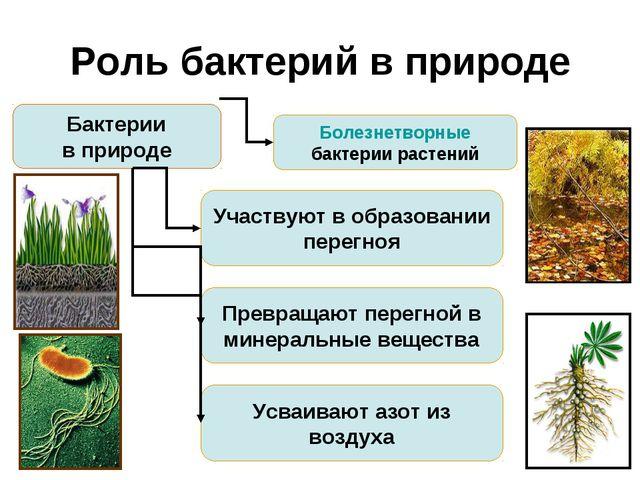 Роль бактерий в природе Бактерии в природе