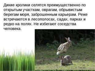 Дикие кролики селятся преимущественно по открытым участкам, оврагам, обрывист
