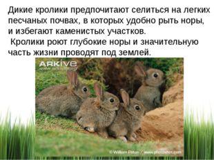 Дикие кролики предпочитают селиться на легких песчаных почвах, в которых удоб