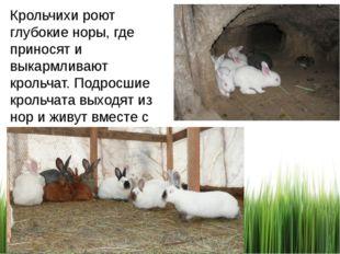 Крольчихи роют глубокие норы, где приносят и выкармливают крольчат. Подросшие