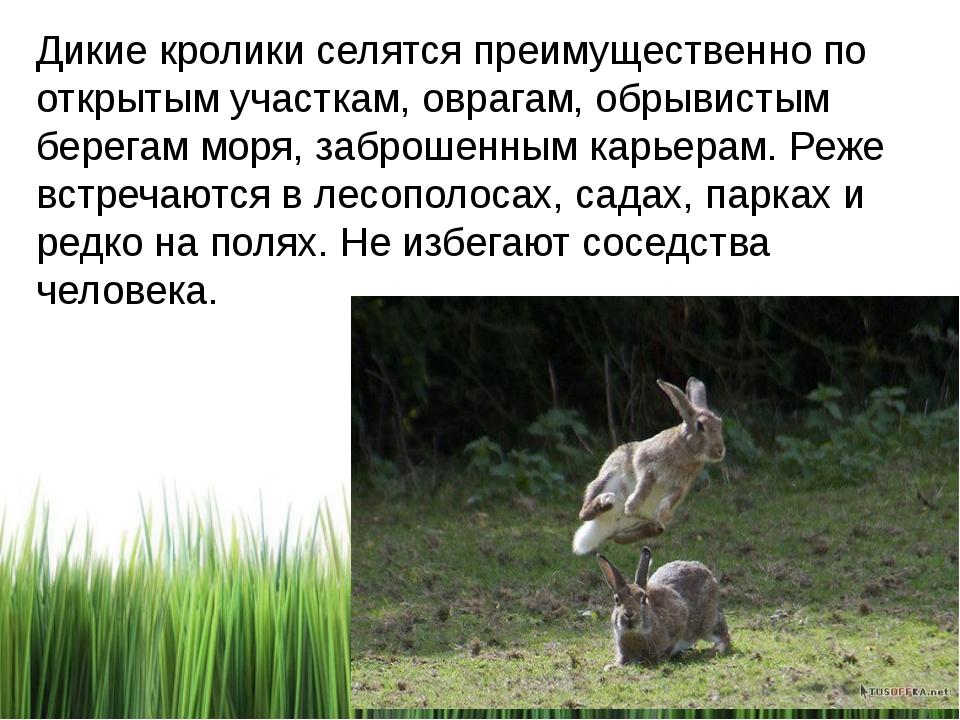 Дикие кролики селятся преимущественно по открытым участкам, оврагам, обрывист...