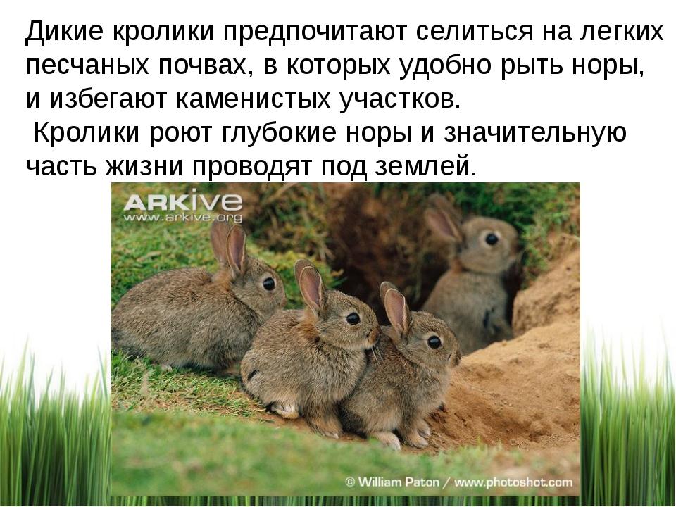 Дикие кролики предпочитают селиться на легких песчаных почвах, в которых удоб...
