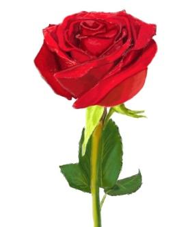http://www.lookmi.ru/flowers/rose-drawing.jpg