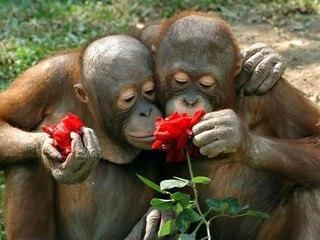http://scisne.net/ax/d1/1/ch_obez/orangutans_rose.jpg